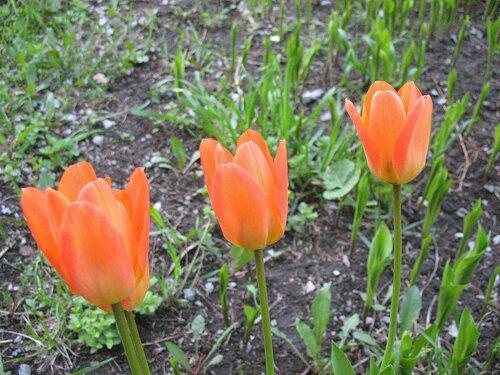 Весенние тюльпаны.