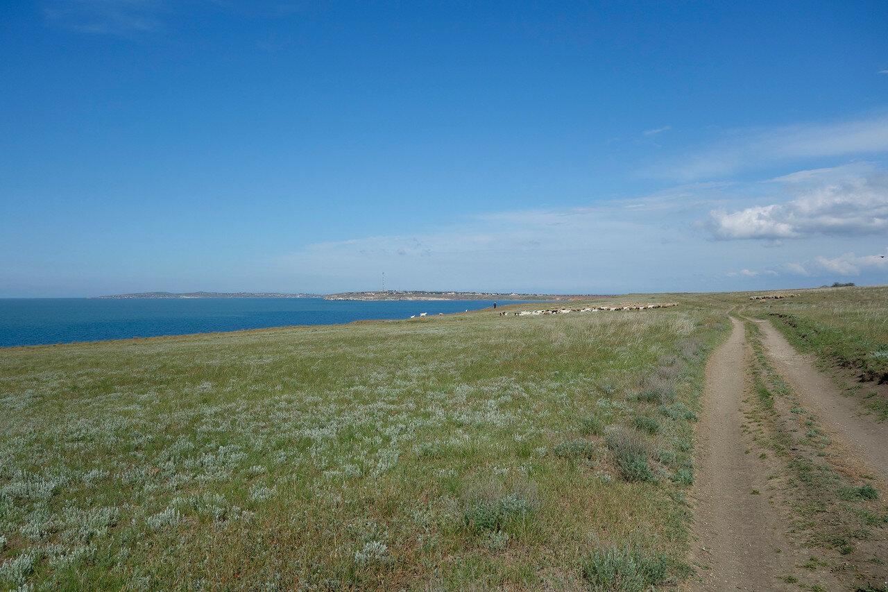 вдоль азовского берега, овцы-бараны