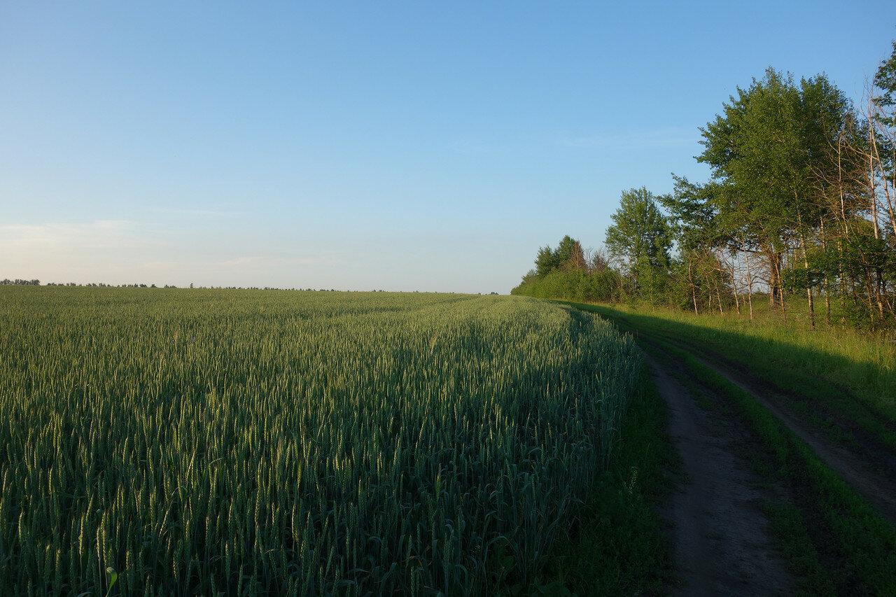 пшеница, поле золотится