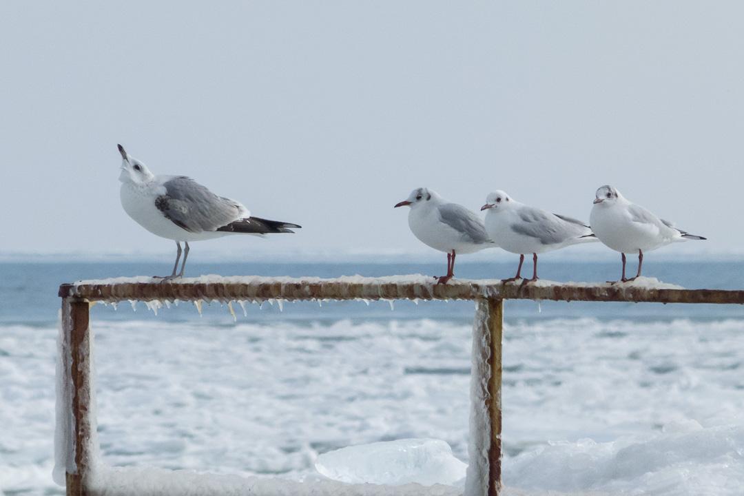 Чайки сизая и озерная - Common Gull & Black-headed Gull