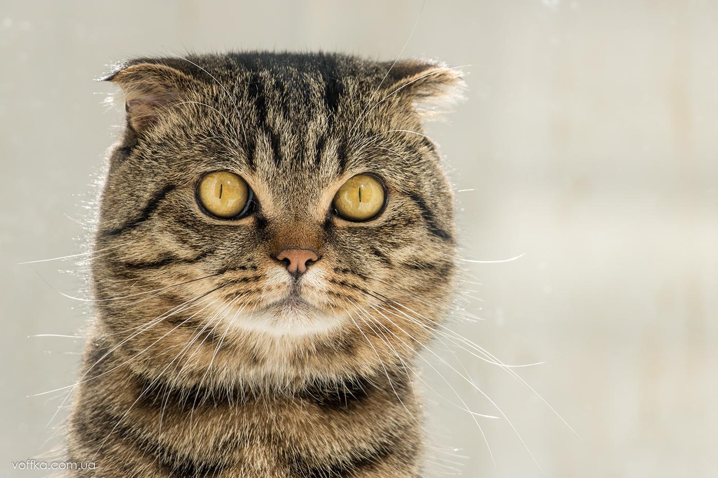 Cat emotions / фотограф Владимир Переклицкий