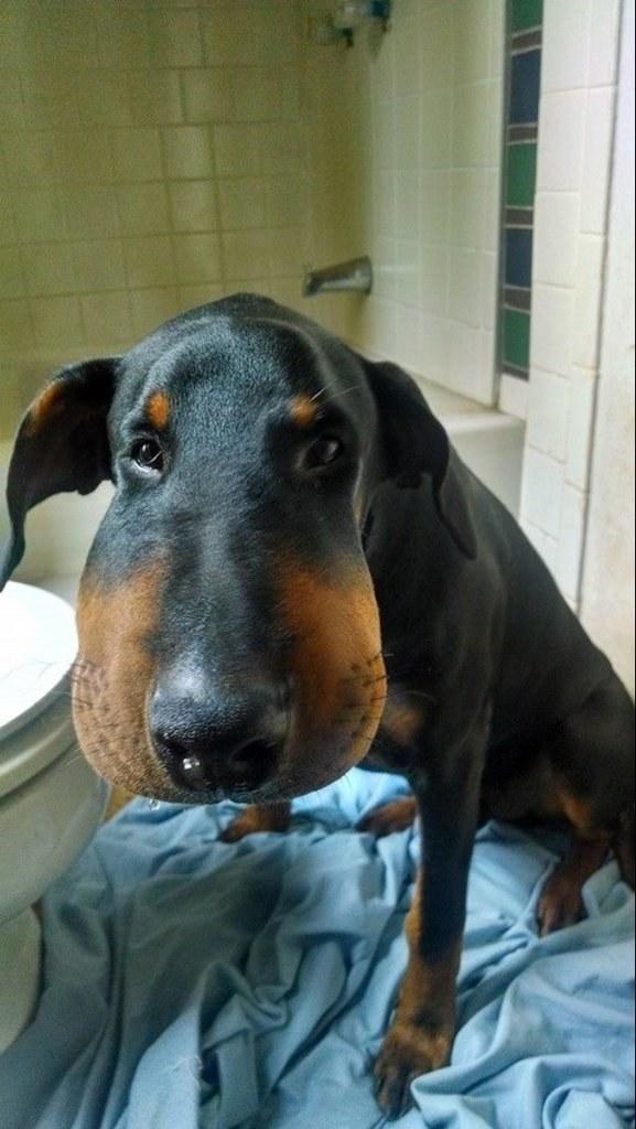 Пес знает, что напортачил.