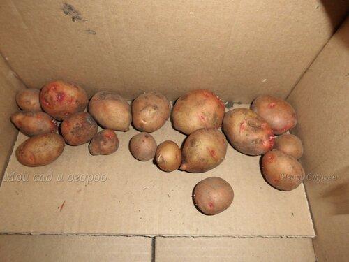 проращиваем картофель в темноте