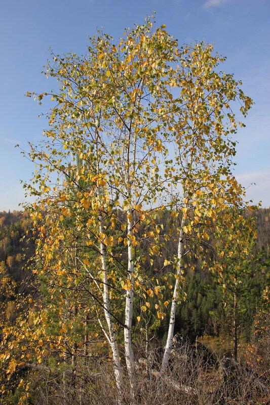 Белоствольные берёзы с жёлтыми листьями