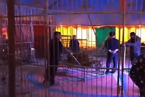 Вкитайском цирке зрителям разрешили присесть натигра