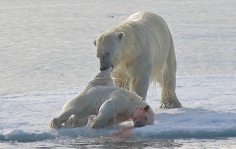 2. Обычно медведи охотятся на тюленей, но иногда убивают и едят своих.