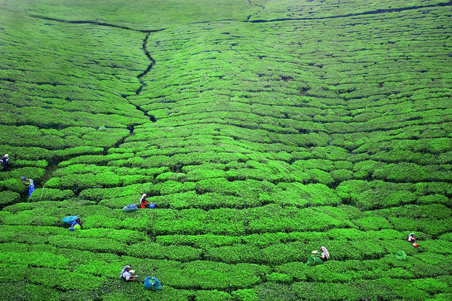 Женщины работают на чайных плантациях недалеко от Нувара-Элия, Шри-Ланка.