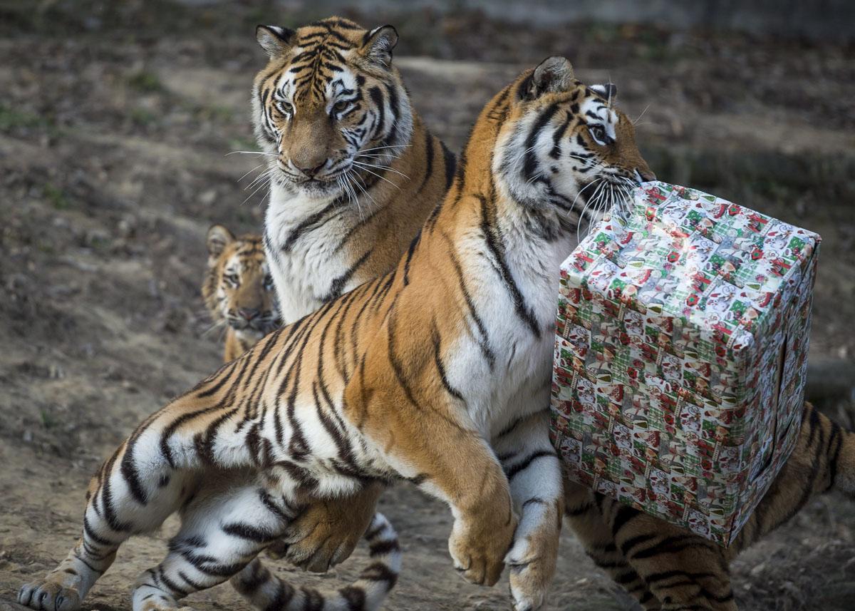 Тигры из Будапешта еще не знают, что на обед у них будет праздничная курятина.