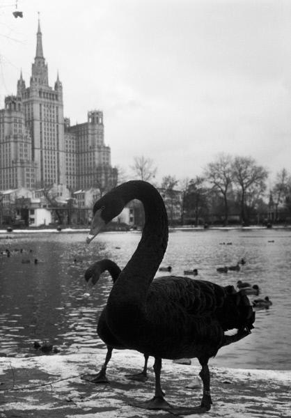 Лебеди в большом пруду Московского зоопарка, 1970 год. Фото: Минкевич / РИА Новости.
