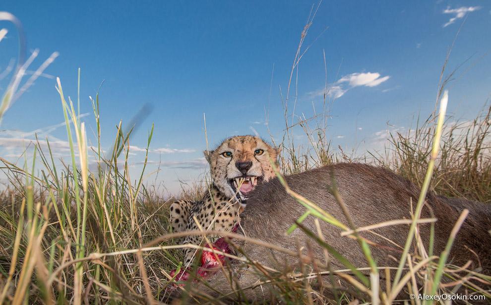 13. Леопард, как и гепард, охотится один раз в два-три дня. Ест он чуть больше, чем гепард. У л