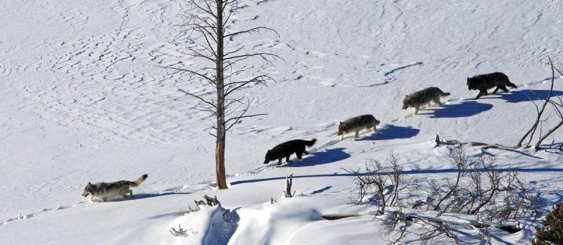 Конечно же, никаких засад волки не опасаются и слабых членов стаи под гранаты партизанских отрядов з