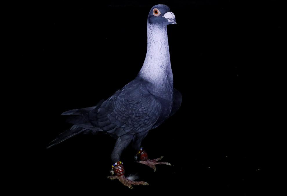 «Один раз я продал пару голубей за 9 800 долларов»  3. Такой стоит подешевле — всего 395$.