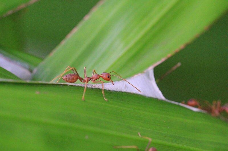 Муравей-ткач (азиатский муравей-портной, Oecophylla smaragdina) готовится скреплять два листа пальмы для постройки гнезда