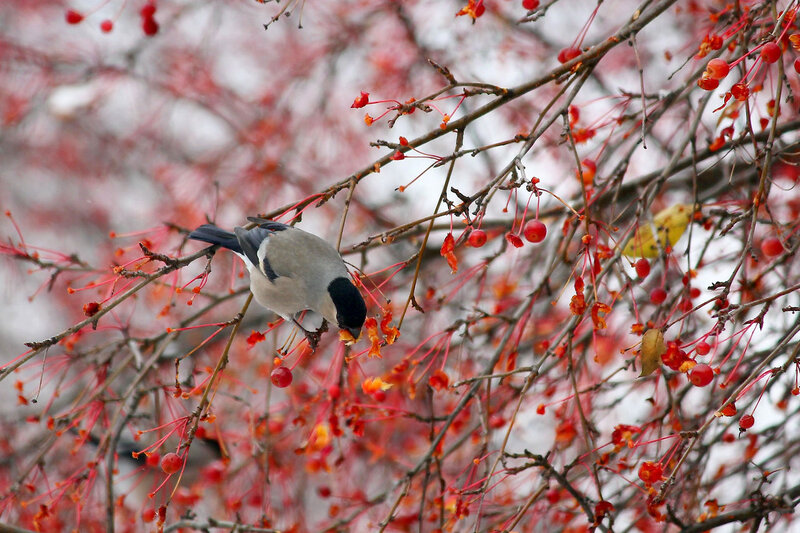 Winter cherry""