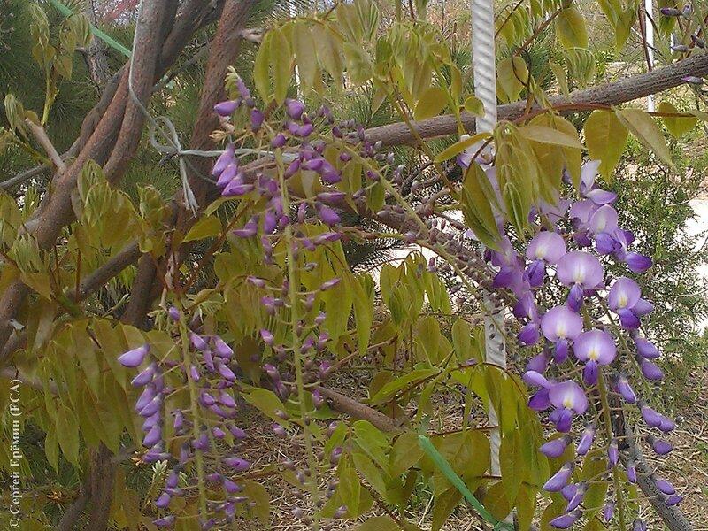 Расцветает глициния