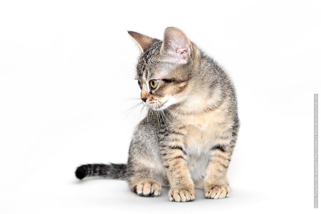 бомбейский котенок продажа в москве