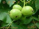 Соплодие сеянца грецкого ореха.