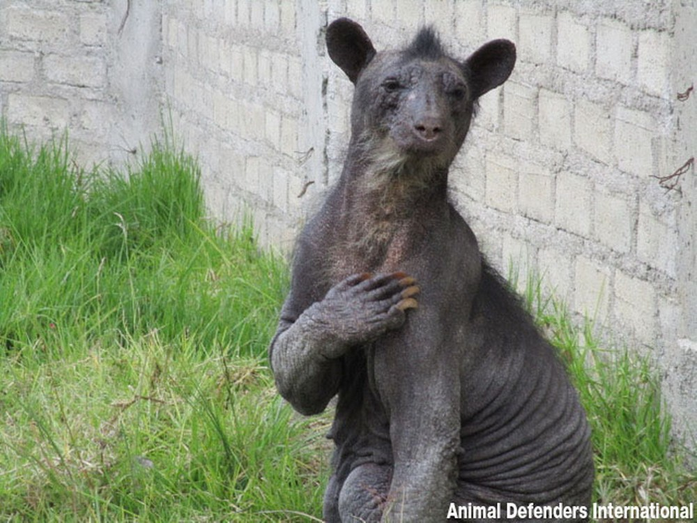 Спасение лысой медведицы