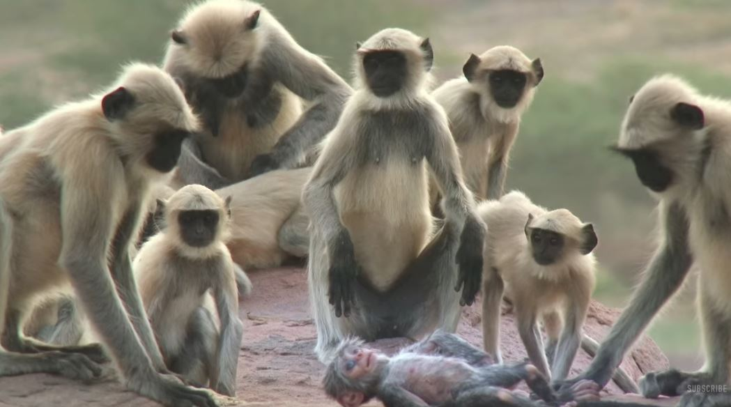 Робот-обезьянка среди настоящих обезьян