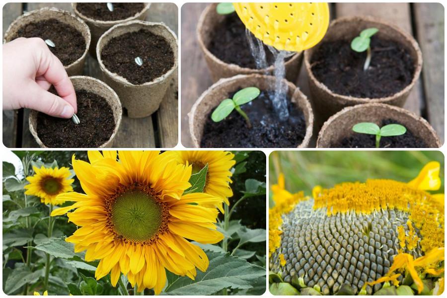 Когда сажать и как вырастить подсолнух из семечки