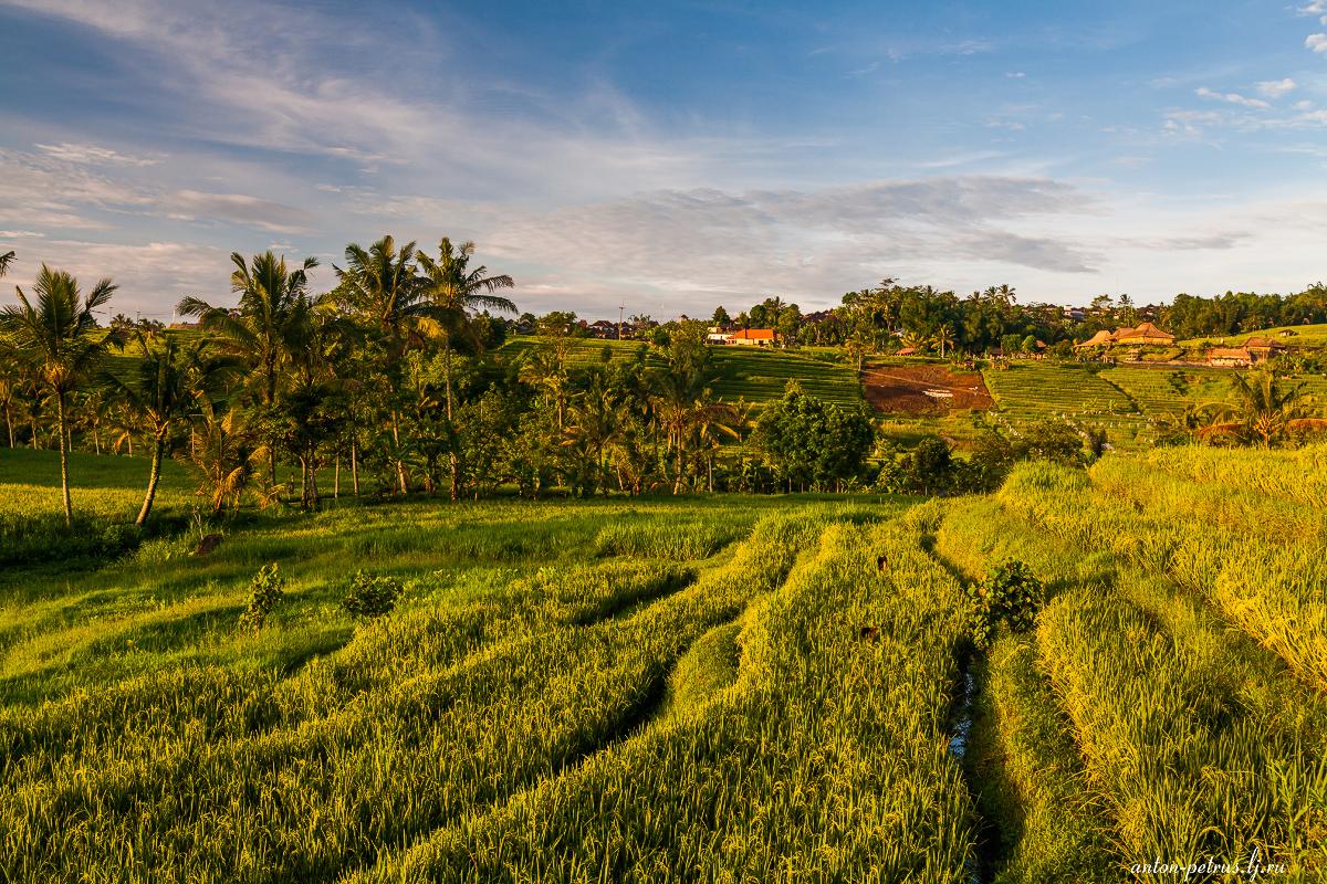 Изумруды рисовых полей. Бали