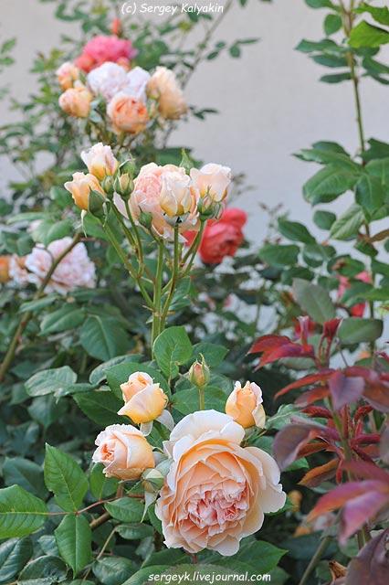 Rosa Lady Emma Hamilton  (3).JPG