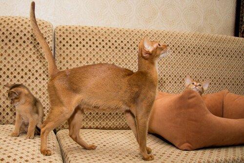 Фото Абиссинские котята и кошка