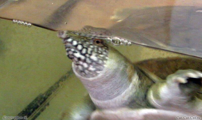Дальневосточная черепаха (китайский трионикс)