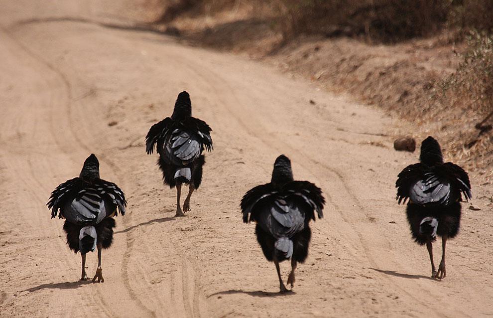 Четыре птицы вышагивают по дороге так, будто они владеют ею. Фото: Derek Auerman.