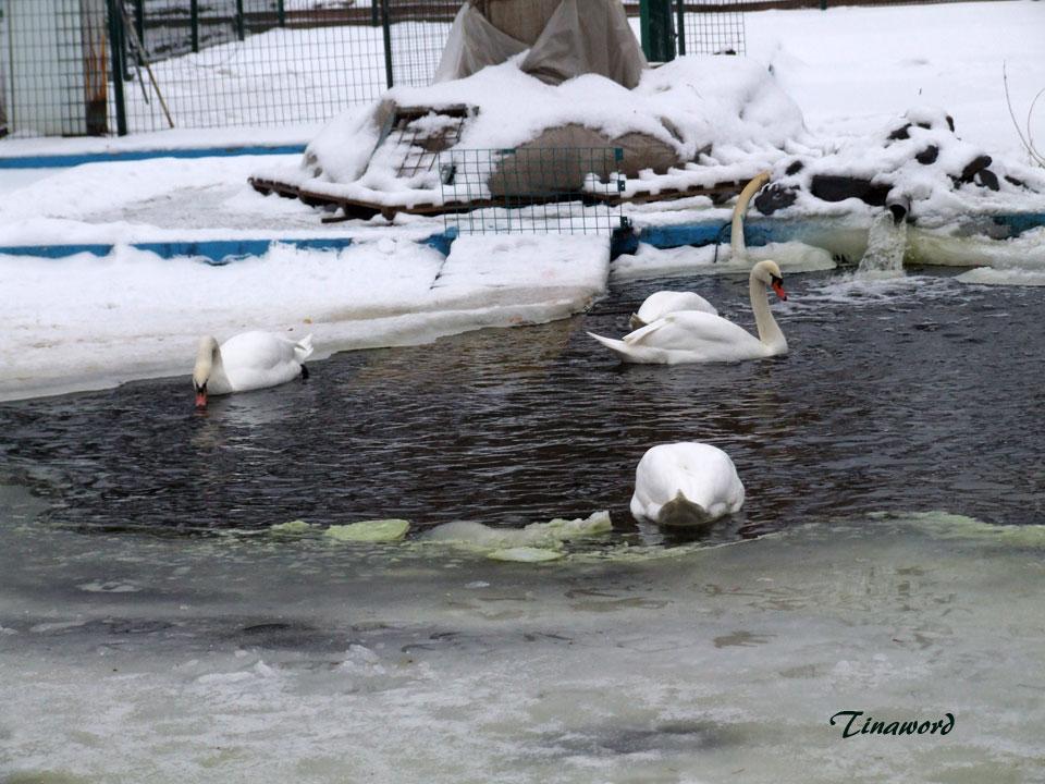 лебеди-1.jpg
