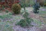 Ель обыкновеная  (Picea abies) Inversa