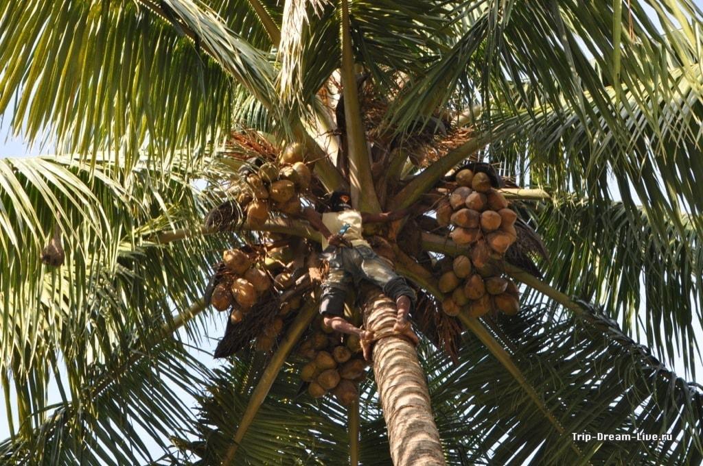 Сборка урожая кокосов