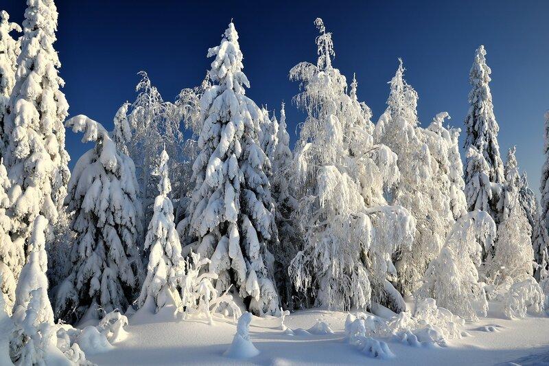 Утро в Рождественском лесу