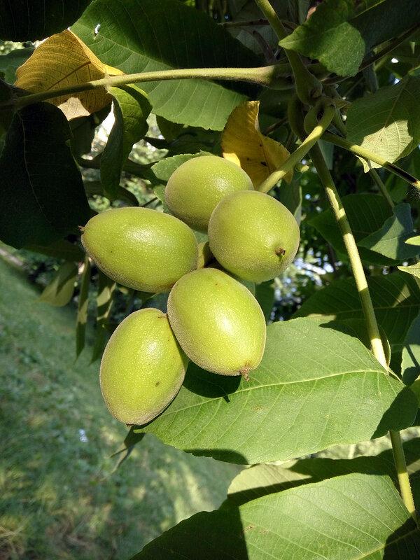 Орех манчьжурский