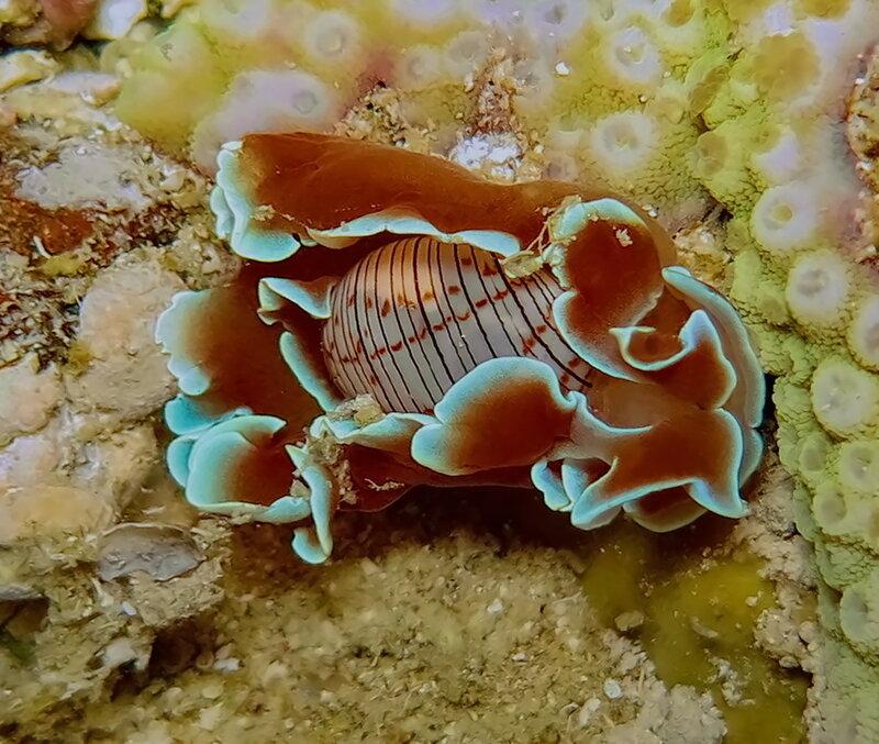 Коричневолинейный пузырьковый (Hydatina physis), он же Хидатина нитчатая