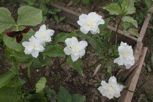 Редкие растения в наших садах - Страница 7 0_16e0cc_458977d9_M