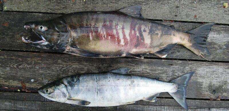 На фото лосось до и после нереста