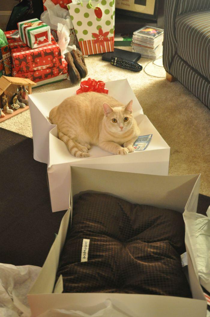 Коту подарили лежанку на Новый год. Он не понял.