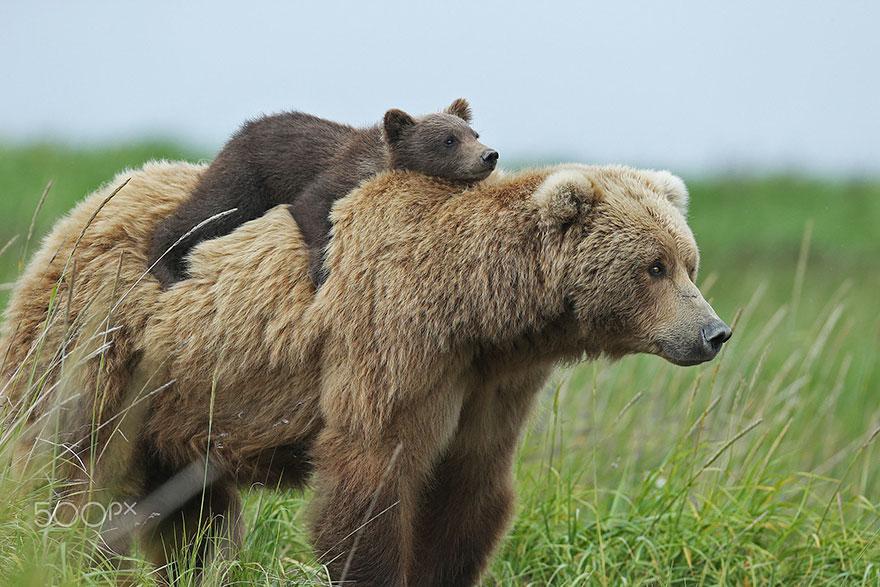 «Покатай меня, большая медведица!».