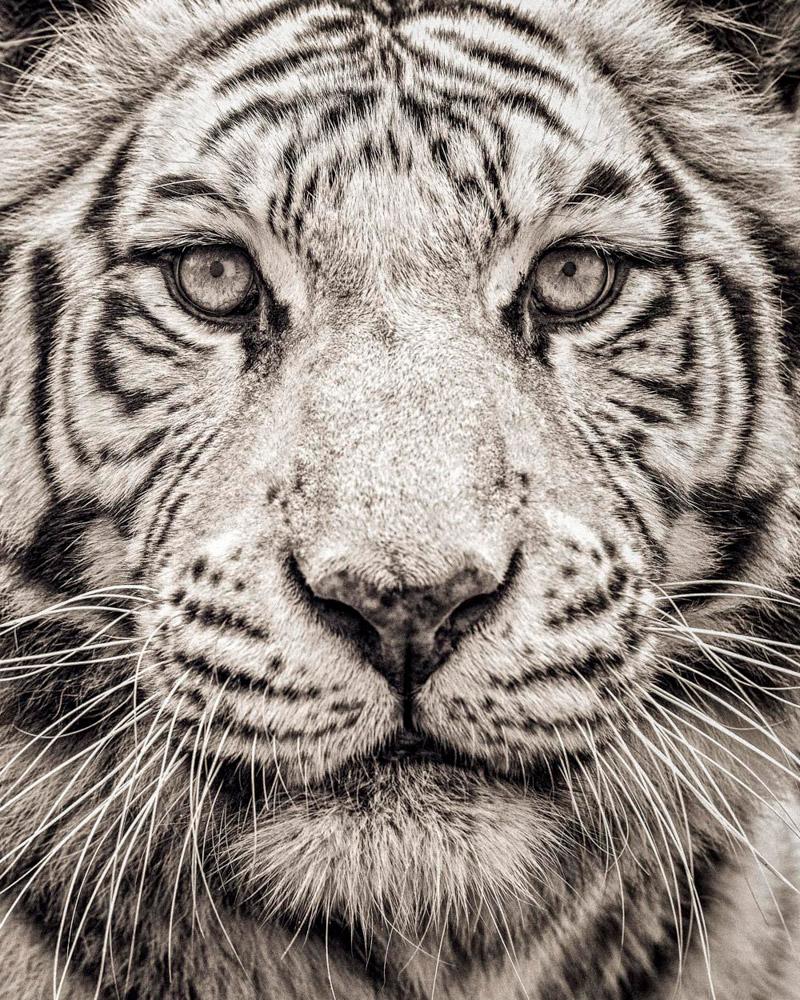 3. Суматранский тигр. Этот подвид находился на грани исчезновения и занесён в категорию «таксон