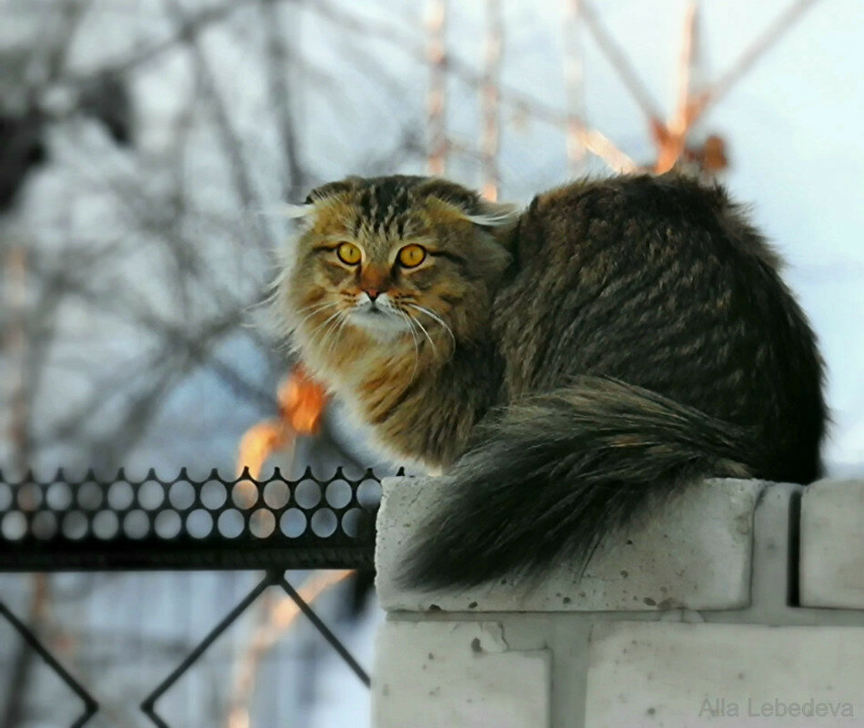 Long Haired Siberian Cats
