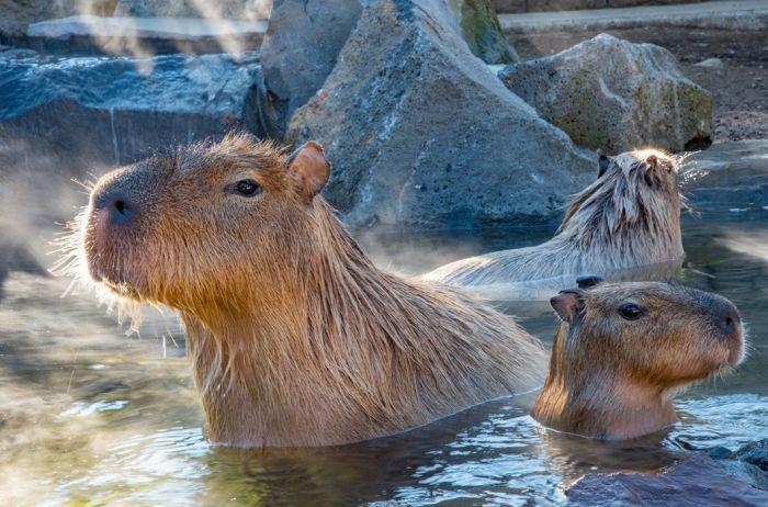 Капибара — самый крупный грызун в мире и единственный представитель семейства водосвинковых. Вес самцов может достигать 65–70 кг