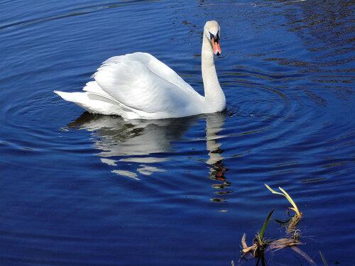 И грустный лебедь на пруду...