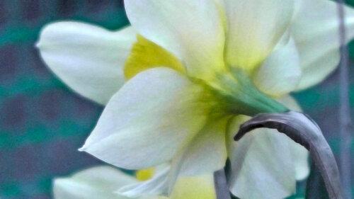 ирис желтый сад