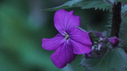 фиолетовый цветок макросъемка