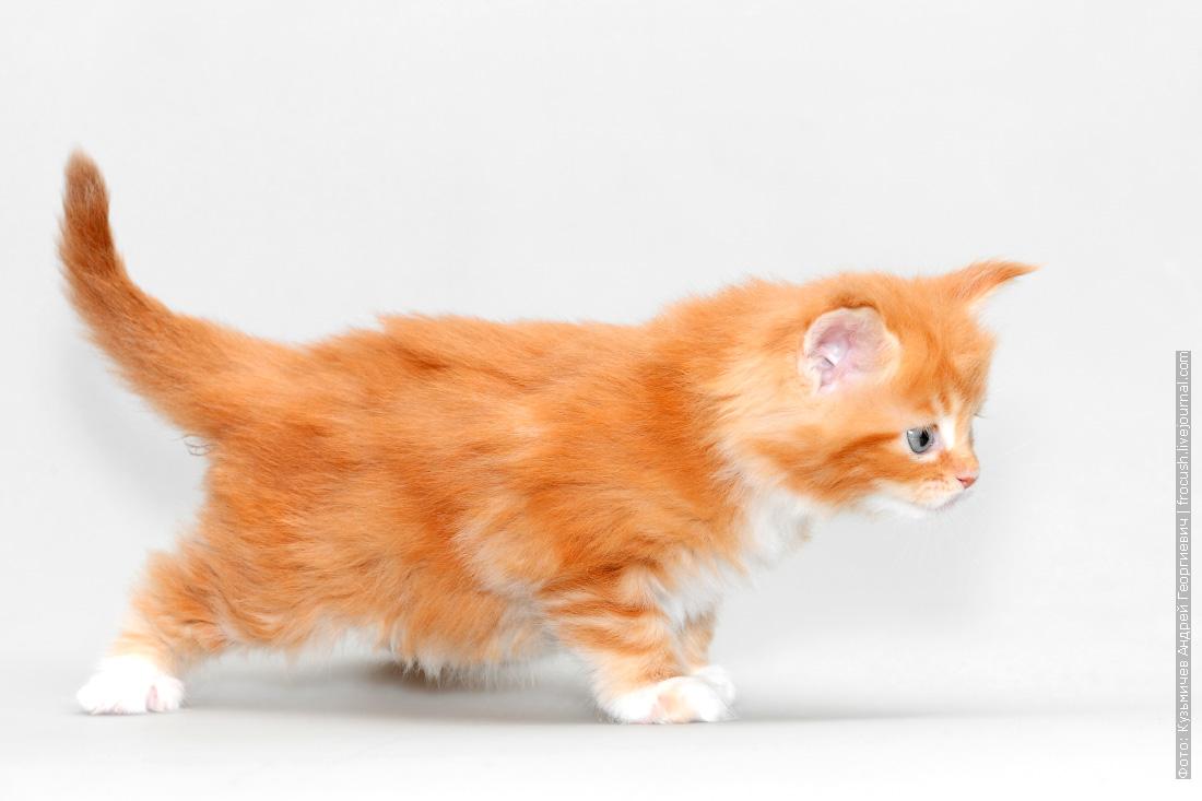 красный котенок мейн кун фото