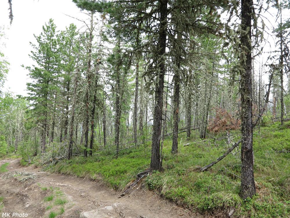 Побитый кедровый лес