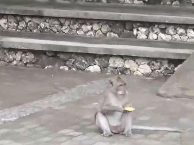 Хитрые макаки воруют вещи у туристов и возвращают за угощения