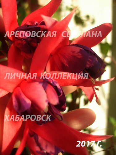 НОВИНКИ ФУКСИЙ. - Страница 5 0_19969d_6232e012_L