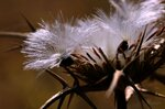Раскрывают парашюты семена...